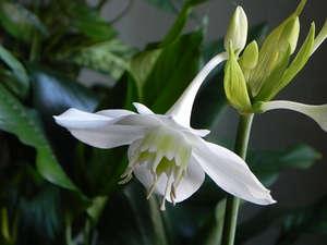 Цветы эухариса