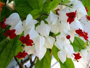 Цветы клеродендрума