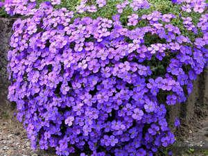 Цветы обриеты