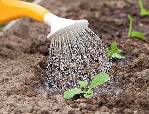 Выращивание годеции из семян от посадки до цветения
