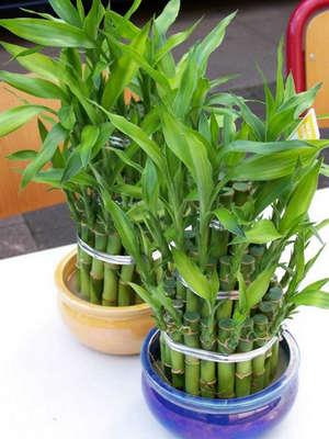 Комнатный бамбук в горшках