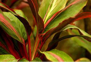 Листья кордилина