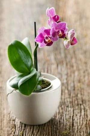 Маленькая орхидея