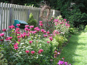 Монарда в саду
