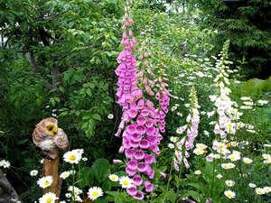 Наперстянка в саду