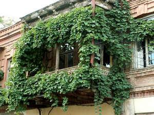 Посадка кобеи и уход за растением в саду и на балконе (фото)