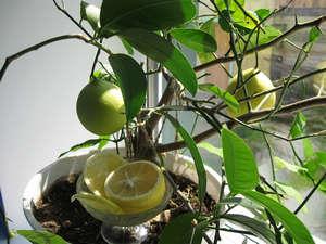Плоды лимонного дерева