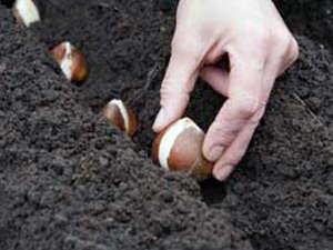 Посадка луковиц в саду