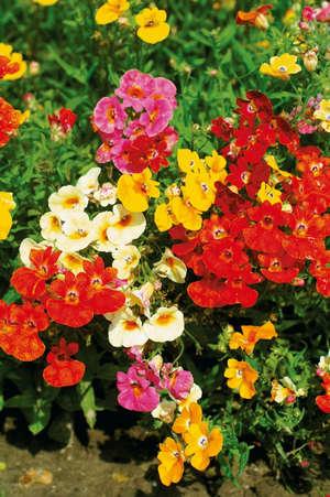 Разноцветные цветы немезии