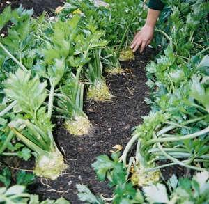 Выращивание черешкового сельдерея на даче, агротехника, посадка и уход (видео советы)