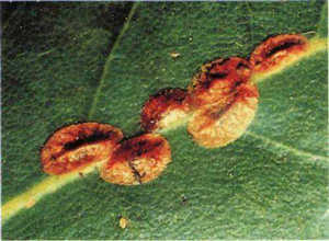 Уход за пуасентией в домашних условиях и правильная пересадка, если опадают листья