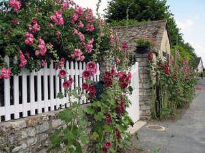 Шток-роза на заборе