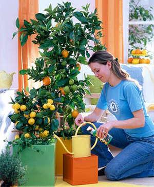 Выращиваем лимонное дерево в домашних условиях из косточки и правильная прививка
