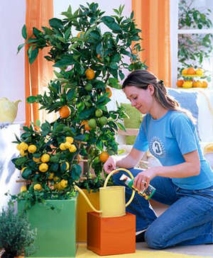 Уход за лимонным деревом