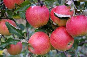 """Яблоки """"Прима"""""""