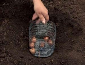 Защита тюльпанов от грызунов