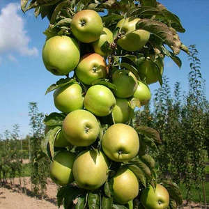 Колоновидные яблони - посадка и уход за сортом - Московское ожерелье - (видео советы)