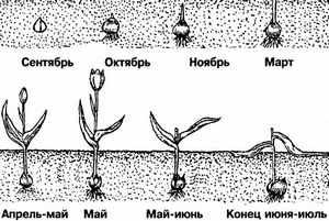 Жизненный цикл тюльпанов