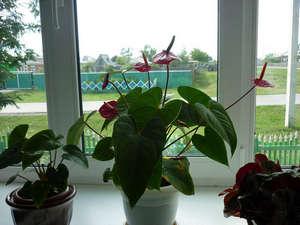 Цветок «Мужское счастье»: как ухаживать, и что делать, если сохнуть кончики листьев и цветы