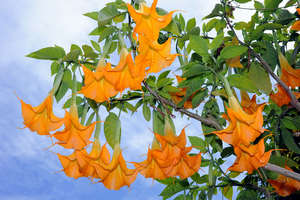 Бругмансия цветущая