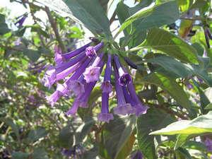 Цветки иохромы
