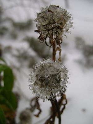 Гайлардия зимой