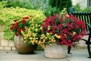 Хризантема в вазонах