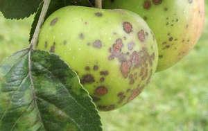 Пятнистость яблок