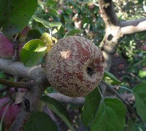 Серая гниль яблок