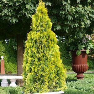 Туя Смарагд в саду