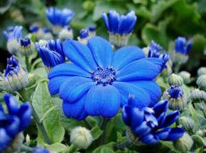 Цинерария гибридная синяя