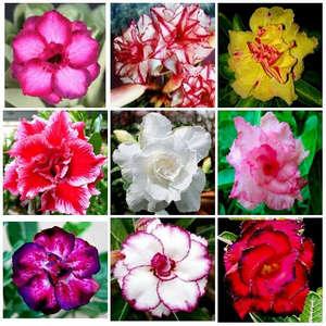 Цветки адениума