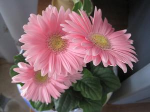 Цветки герберы