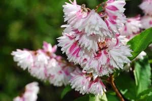 Цветки розовой дейции