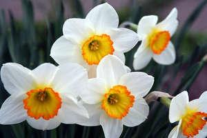 Цветки нарцисса