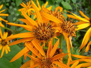 Цветок бузульника