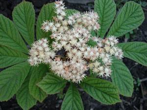 Цветок роджерсии