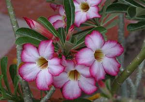 Цветы адениума