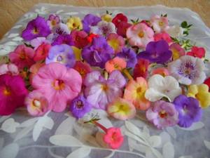Цветы ахименеса