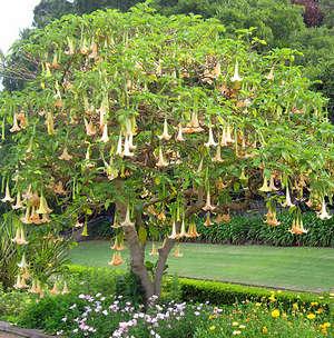 Дерево бругмансии