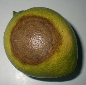Гниль на плоде