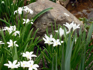 Хиодонокса в саду