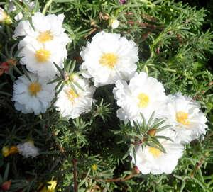 Портулак белоцветковый