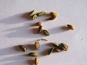 Семена остеоспермум