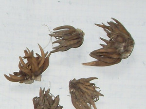 Ранункулюс пионовидный