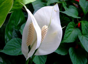 Соцветие спатифиллума