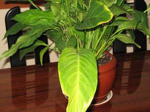 Почему у спатифиллума чернеют и сохнут кончики листьев?