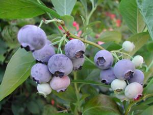 Голубика Brigitta Blue