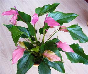 Спатифиллум розовый