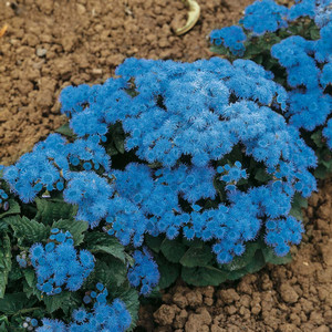 Агератум Голубой шар